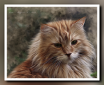 MaineCoon.cat.png