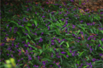 hardenbergia.png